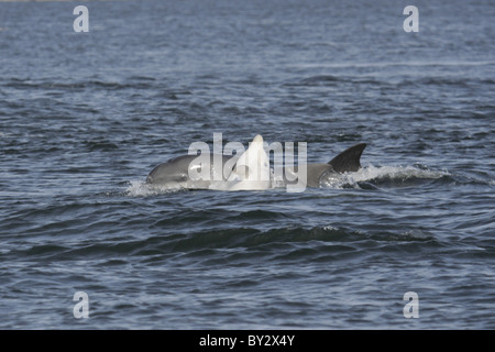 Young Bottlenose dolphin calf (Tursiops truncatus) playing with its mother, Moray Firth, Scotland, UK - Stock Photo