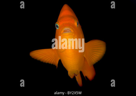 Girabaldi in Black, State Fish of California Stock Photo