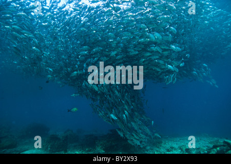School of Big-Eye Jacks in Tornado Shape - Stock Photo