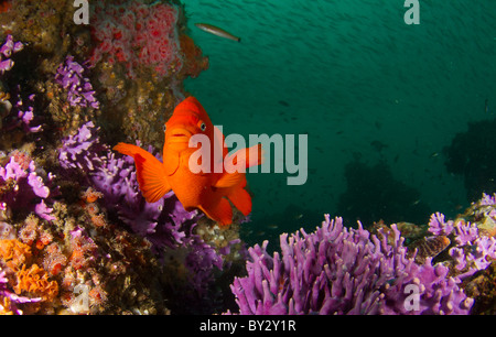 Girabaldi at Farnsworth Bank Reef Stock Photo