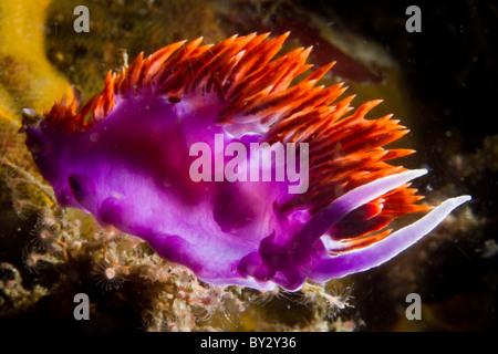 Spanish Shawl Nudibranch, Backlit - Stock Photo