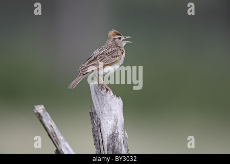 Rufous-naped Lark, Mirafra africana, singing from perch near Lagoon Camp, okavango - Stock Photo