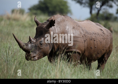 Southern White Rhinoceros, Ceratotherium simum covered in mud at Rietflei Nature Reserve, South Africa - Stock Photo