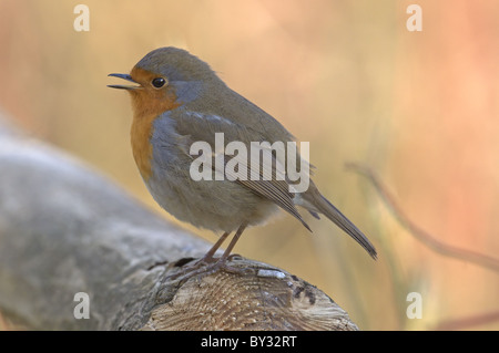 ROBIN ERITHACUS RUBECULA PERCHED ON FENCE SINGING WINTER UK - Stock Photo