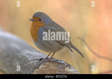 ROBIN ERITHACUS RUBECULA PERCHED ON FENCE. WINTER UK - Stock Photo