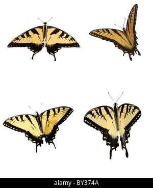 Eastern Tiger Swallowtail Butterflies Isolated on White Collage - Stock Photo