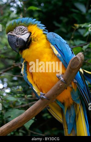 Blue and Yellow Macaw or Blue and Gold Macaw (Ara ararauna) at the Macaw Mountain Bird Park, Copan, Honduras - Stock Photo