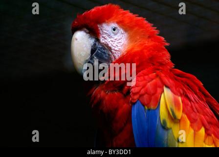 Scarlet Macaw (Ara macao )at the Macaw Mountain Bird Park, Copan, Honduras. - Stock Photo