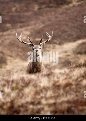 Red Deer Stag Cervus elaphus alone in the Scottish Highlands on a cold winter day in the hills - Stock Photo