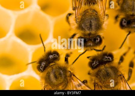 Honeybees Apis mellifera - Stock Photo