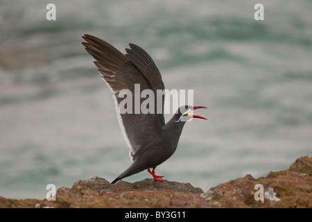 Inca Tern, Larosterna inca Paracas National Reserve, Peru - Stock Photo