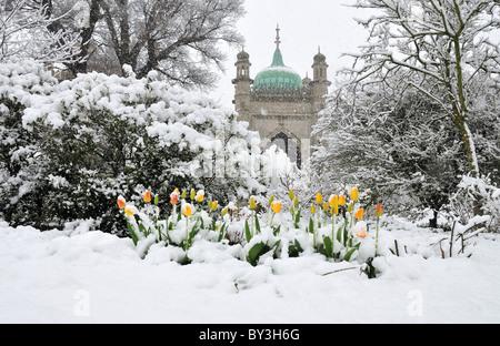 Tulips covered in snow, Brighton Pavilion Gardens, Brighton, England - Stock Photo