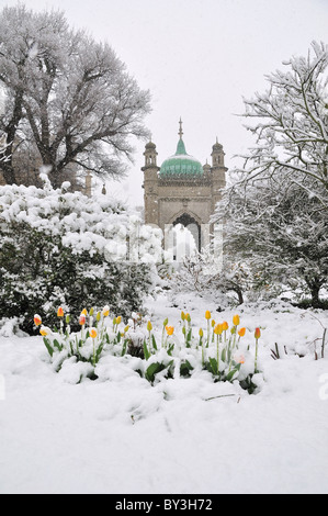 Tulips covered in snow, Brighton Pavilion Gardens, Brighton, England - Stock Photo