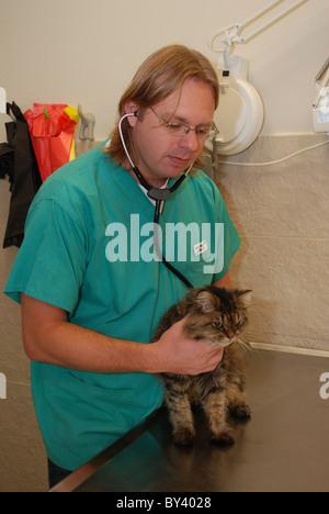 Vet Examines a cat in a veterinary clinic - Stock Photo