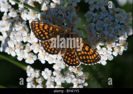 Heath Fritillary butterfly (Mellicta athalia), female - Stock Photo