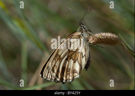 Marbled White butterfly (Melanargia galathea), female - Stock Photo