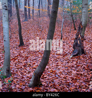 Bradenham woods on a misty winter day with the last remnants of autumn leaves on the trees - Stock Photo