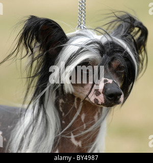 chinese crested dog head with wind blowing - Stock Photo