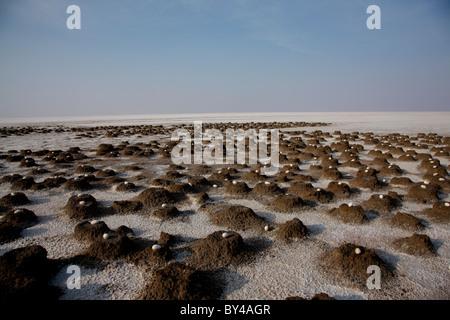 Flamingo birds eggs in Rann of Kutch,Gujarat,india - Stock Photo
