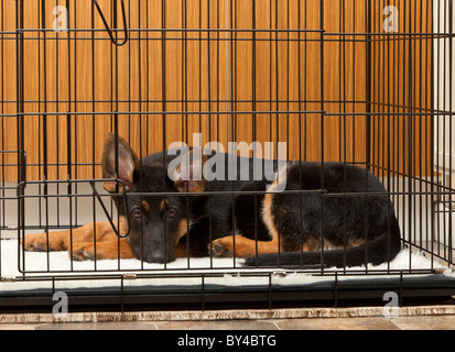 German Shepherd Dog puppy at 4 months old in his crate in a Utility room - Stock Photo