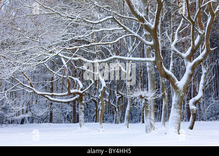 Snow covered woodland at Friday Street, Surrey