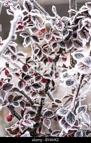 very heavy hoar frost covers this bush - Stock Photo
