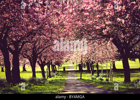 Cherry trees in full blossom over a path, springtime, Harrogate, England - Stock Photo