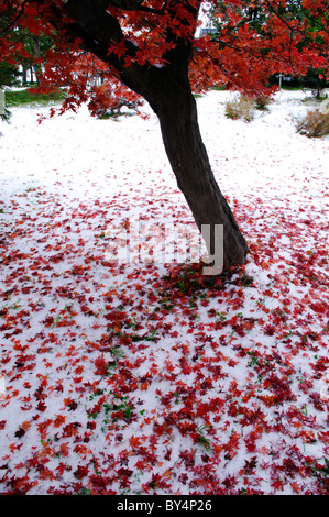 Autumnal Maple Tree Covered in Snow - Stock Photo