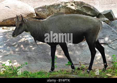 Indian Nilgai, Close-up - Stock Photo