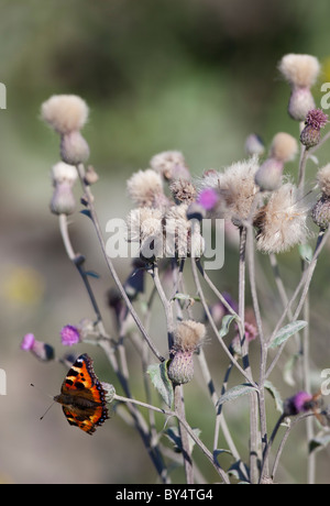 Small tortoiseshell (  Aglais urticae , Nymphalidae ) butterfly sucking nectar from a  downy burdock ( Arctium tomentosu - Stock Photo