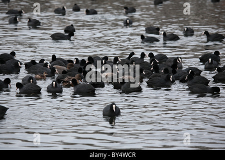 Coots Swimming - Stock Photo