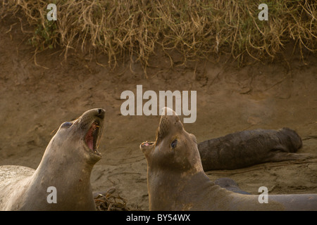 Two female Northern Elephant Seals (Mirounga angustirostris) fighting at the Piedras Blancas rookery in near San - Stock Photo
