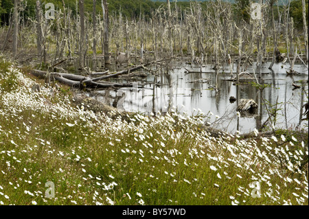 Oxeye daisies (Leucanthemum vulgare) flower around pond created by beavers route 3 east of Ushuaia Patagonia Argentina - Stock Photo