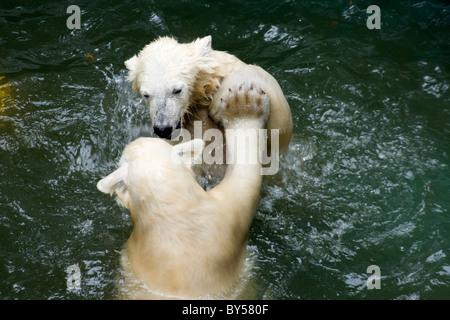 Kids of Polar Bear (Ursus maritimus, Thalarctos maritimus) in water - Stock Photo