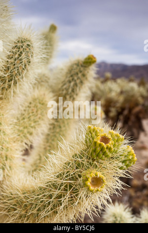 Flowering Teddy-bear Cholla, Cylindropuntia bigelovii, at The Cholla Cactus Garden in Joshua Tree National Park, - Stock Photo