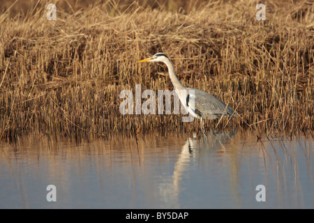 Grey heron stalking fish in a reed bed water environment - Stock Photo