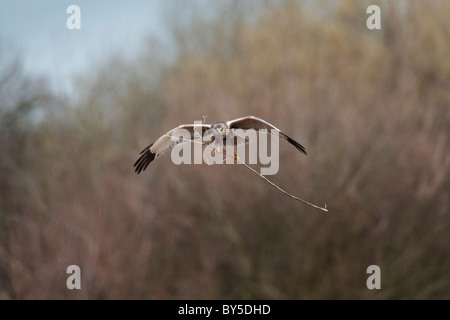 Male marsh harrier in flight carrying twigs to make a nest, - Stock Photo