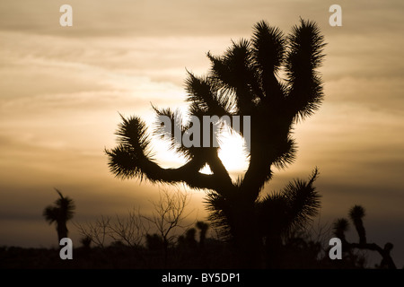 Joshua Tree (Yucca brevifolia) silhouetted at sunset in Joshua Tree National Park, California USA. - Stock Photo