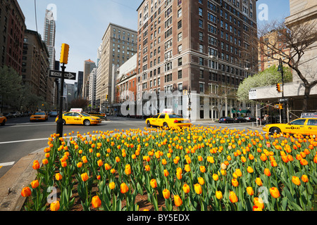 Tulips in Park Avenue, New York - Stock Photo