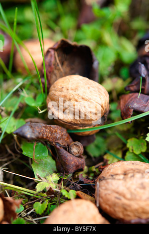 Fresh Walnuts fallen from a tree - Stock Photo