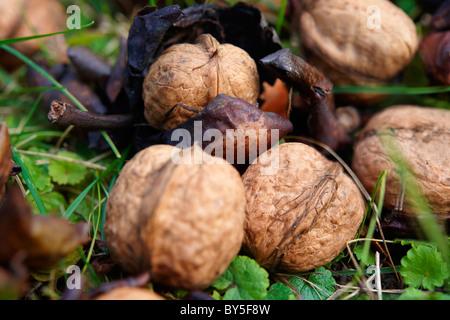 Fresh Walnuts fallen from a tree - Stock Photo