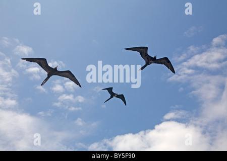 Birds Three Magnificient Frigatebird Fregata magnificens Birds in flight  Flying The Galapagos Islands - Stock Photo