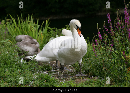 Family of Mute Swans, Cygnus olor, Anatidae, by the Side of a Lake. - Stock Photo
