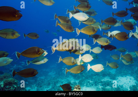 Bluespine surgeonfish (Naso unicornis) school. Egypt, Red Sea. - Stock Photo