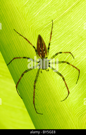Madagascar Lynx Spider (Peucetia madagascariensis) resting on a leaf in Antsirabe, central Madagascar. August 2010. - Stock Photo