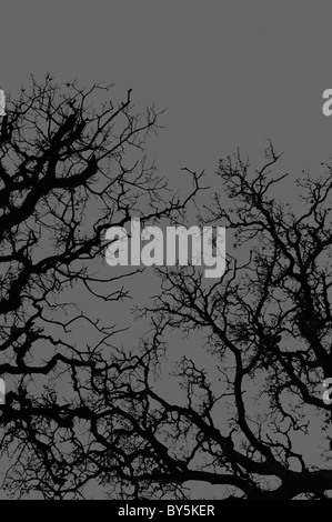 Oak tree branches silhouette on gray background. - Stock Photo
