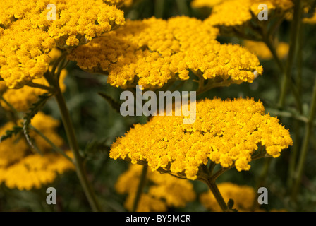 Achillea filipendulina Fernleaf Yarrow - Stock Photo