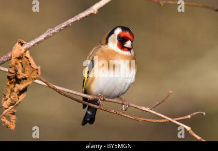 european goldfinch (carduelis carduelis) on a hazel branch - Stock Photo