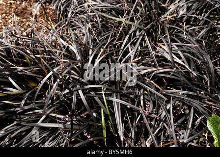 Ophiopogon planiscapus nigrescens lilyturf black mondo for Dark ornamental grasses