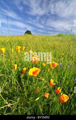 Poppy flowers in Northern California - Stock Photo